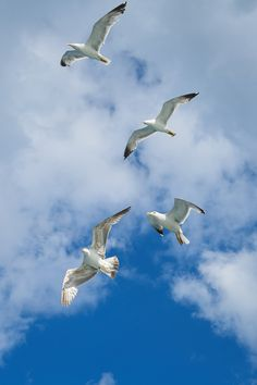 Picture of migrating seagulls.
