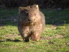Little Baby Wombat Running Wild Animals, Baby Animals, Funny Animals, Cute Animals, Baby Wombat, Slow Loris, Quokka, Animal Babies, Wild Ones