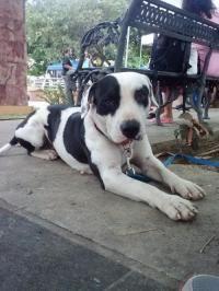 Pirulo - Pit Bull Terrier