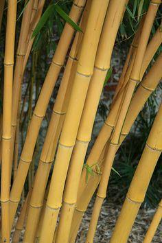phyllostachys aureosulcata 39 aureocaulis 39 bamboo in. Black Bedroom Furniture Sets. Home Design Ideas