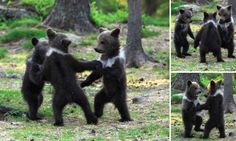 Adorable moment baby bear cubs grasp paws and dance joyfully in a circle * At just a few months old, two young males and one female gathered in circle * The bears were spotted in eastern Finland near Suomussalmi