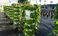 Know about growth phase of your hydroponic plants. It is good for your plants to grow better according to routine feed chart.