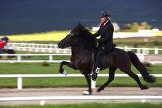 Icelandic Horse Festival