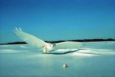 In this incredible capture we see a Snowy owl (Bubo scandiacus) about to pounce on its prey. The yellow-eyed, black-beaked, white bird is 52–71 centimetres (20–28 in) long, with a 125–150 centimetres (49–59 in) wingspan. These birds can weigh anywhere from 1.6 to 3 kilograms (3.5 to 6.6 lb) and are one of the largest species of owls.