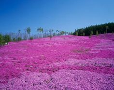 Pretty in pink: Takinoue Park, in Hokkaido, Japan, is famous for Shibazakura or pink moss, attracting thousands of visitors every year between May and June when the flowers are in full bloom Beautiful Photos Of Nature, Amazing Nature, Beautiful World, Beautiful Places, Peaceful Places, Amazing Places, Magic Forest, Japanese Flowers, Travel Images