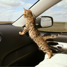 I think we need a Bengal. This Bengal kitten should be wearing a seatbelt. Posted by kmcfaul on Tumblr.