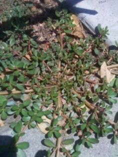 A Nutritious and Edible Weed Purslane facts and purslane recipes to bolster your appreciation of this virtuous wild plant.Purslane facts and purslane recipes to bolster your appreciation of this virtuous wild plant. Healing Herbs, Medicinal Plants, Herbal Plants, Permaculture, Herb Garden, Garden Plants, Garden Edging, Vegetable Garden, Purslane Recipe