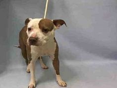 Manhattan Center TIVA – A1064185 FEMALE, WHITE / BROWN, PIT BULL MIX, 6 yrs OWNER SUR – EVALUATE, NO HOLD Reason NO TIME Intake condition EXAM REQ Intake Date 02/01/2016, From OUT OF NYC, DueOut Date02/04/2016, Urgent Pets on Death Row, Inc