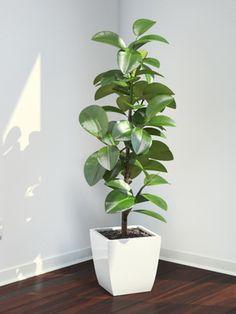 Típusai Ficus: képek a nevét a hazai füge, gondozó egy cserepes növény
