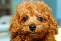 Brooklyn is an adoptable Poodle Dog in New York, NY. Brooklyn was born on March 1, 2012. Getting a dog this age requires house training and lots of attentiveness. He's cute, there is no doubt about it...