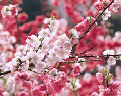 Beijing In April- The Best Places to Welcome Spring Cherry Blossom Japan, Cherry Blossoms, Hina Matsuri, Welcome Spring, The Good Place, Seasons, World, Plants, Dalian China