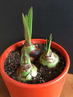 How to Know When Amaryllis Bulbs Will Flower Longfield Gardens is part of Amaryllis bulbs - If you recently purchased some amaryllis bulbs and are wondering when they will bloom, read on to learn about bloom times and what to expect