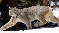 MONTPELIER (AP) - Although rarely seen, the Canada lynx appears to be increasing in number in Vermont's Northeast Kingdom, an encouraging sign for a species the state considers endangered. Lynx Du Canada, Le Cri, Forest Service, Siberian Tiger, Bengal Tiger, Endangered Species, Big Cats, Vermont, Federal