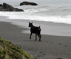 Paw prints in the sand. #Doberman #pet