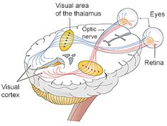 Eyes are used to capture light and the optic nerves then send signals to the brain where the information is processed into an image. Click to enlarge and to read additional details.