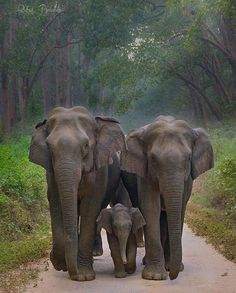 herd of elephants - Elefanten - Adorable Animals Elephant Family, Elephant Love, Elephant Art, Asian Elephant, Happy Elephant, Wild Elephant, Elephant Gifts, Elephant Pictures, Animal Pictures