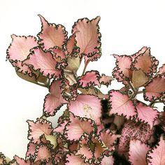 Pink ruffly Fittonia houseplant!