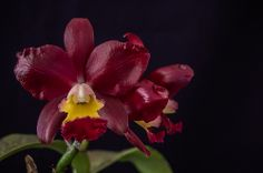 Hybrid-Orchid: Cattleya Chocolate Drop x Cattleya Landate - Flickr - Photo Sharing!