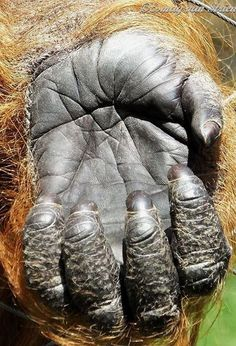 Hand of orangutan. Photo by Esmay van Strien (Esmay Ape Photography). Male Orangutan, Sumatran Orangutan, Chimpanzee, Primates, Mammals, Save The Orangutans, Magnificent Beasts, Ape Monkey, Animais