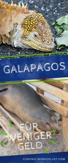 Galapagos for cheap. 15 ways to save a lot of money in Ecuador. Don't rule out these beautiful islands, just because you are on a travel budget! Find out how you can save money and still take the trip of a lifetime to the Galapagos Islands in Ecuador! South America Destinations, South America Travel, Venezuela Culture, Ecuador, Koh Lanta Thailand, Tulum Beach, Travel Through Europe, Galapagos Islands, Amazing Destinations