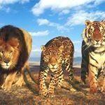 """1,030 kedvelés, 9 hozzászólás – Big Cats! (@bigcats.world) Instagram-hozzászólása: """"#bengaltiger #kingofthejungle #bigcatsofinstagram #bigcat #snowleopards #endangeredspecies…"""""""