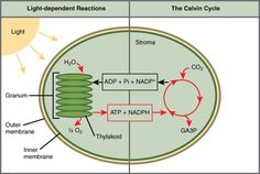 Chloroplast diagram ac bamboo occupations course pinterest read more about the two parts of photosynthesis in the boundless open textbook ccuart Gallery
