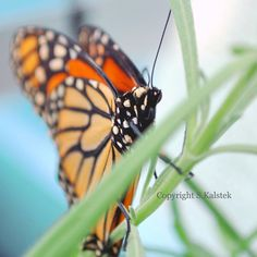 Butterfly Photograph Monarch Wings Beautiful Winged Insect Nature Soft Teal Orange Black White Wall Art 8x8