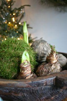 Kerst 2014      Ook dit jaar weersoberekerstversiering.Eigenlijk alleen de boom de rest kan het hele jaar wel, mos, en amarilesbollen ...