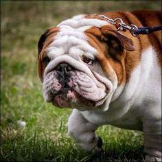 Eng #Bulldog