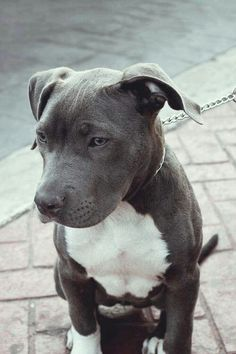 Awesome blue-nose with natural ears #pitbull #bully #americanbully #terrier #dogs #puppies #cute #cutebullies #pitbull #bully #americanbully #terrier #dogs #puppies #cute #cutebullies