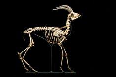 Dorcas gazelle (Gazella dorcas) skeleton