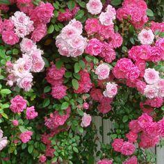 Climbing Roses in Ne Beautiful gorgeous pretty flowers New Dawn Climbing Rose, Climbing Roses, Rose Cottage, Garden Cottage, Beautiful Roses, Beautiful Gardens, Pretty Flowers, Pink Flowers, Rose Foto