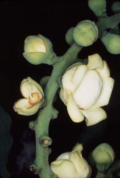 flor da castanha do pará. Flower of Brazil Nuts