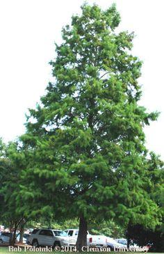 Shawnee Brave Bald Cypress 70 X 20 Tolerates Wet