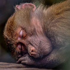 Alvó majom az állatkertben