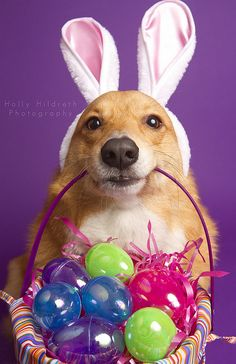 Happy Easter...I'm the Easter Corgi...the Bunny just hopped off and left these.