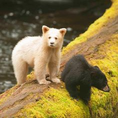 """The Kermode bear, also known as the """"spirit bear"""", is a rare subspecies of the American black bear living in the Central and North Coast regions of British Columbia, Canada. It is the official provincial mammal of British Columbia. Grizzly Bear Cub, Bear Cubs, Polar Bear, 3 Bears, Spirit Bear, Spirit Animal, Cutest Animals On Earth, Rare Albino Animals, American Black Bear"""