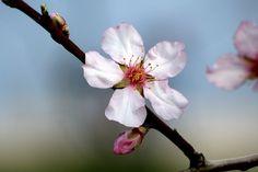 Flor de pessegueiro Hina Matsuri, Spring, Plants, Beautiful, Peach Blossoms, Flowers For Weddings, Plant, Planets
