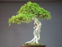 他の写真3: 楓/カエデ 大品盆栽