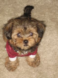 Shorkie - shih tzu and yorkie. if i ever get a designer dog,  i'd get one of these puppies!!