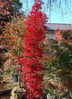 Acer palmatum 'Tsukasa Silhouette'(TSUKASA SILHOUETTE UPRIGHT JAPANESE MAPLE)  sooner plant farm