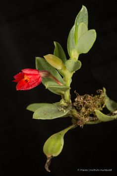 Fernandezia sanguinea Plants, Colombia, Food, Plant, Planets