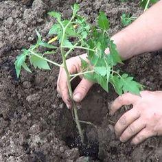 You searched for - La Huertina De Toni Patio, Plants, Gardening, Natural, Tips, Gardens, Environment, Tomato Plants, Growing Plants
