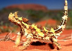 Often referred to as a Moloch (another name for Devil) the Thorny Devil is a slow moving harmless reptile When it walks it lifts its tail moving slowly and jerkily