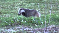 Badger, Otters, Ferret, Mammals, Wildlife, Youtube, Otter, Ferrets, Youtubers