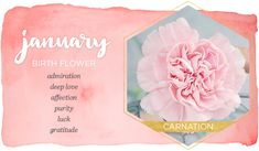 January Birth Flower: In the north of the northern hemisphere, January is a cold and gloomy month, but in non-frozen areas, many flowers bloom in the cool weather and carnation one of them. Carnation Flower Meaning, Carnation Flower Tattoo, Birth Flower Tattoos, January Flower, January Birth Flowers, Birth Month Flowers, December Birth Stone, January Zodiac Sign, Flower Meanings
