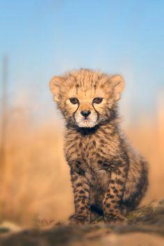 baby cheetah- favorite animal!