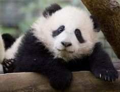 giant panda cub | giant panda cub su lin climbs over a log in