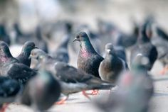 Where Are All the Baby Pigeons? | Mental Floss