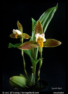 lycaste Orchid species | Home / Studio images / Orchids / Orchid Species / stud30903